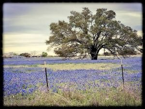 """Debbie Eastham Gillespie's photo of this beautiful field of bluebonnets off Verdi Rd. in Leming is the winner of the """"Wildflower Scenery"""" category. DEBBIE EASTHAM GILLESPIE"""