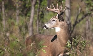 White-tailed deer COURTESY PHOTO