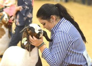 Hunter Rankin works at positioning her goat for judging at her final Atascosa County Livestock Show. Hunter is now a freshman at Texas A&M. JOE DAVID CORDOVA | PLEASANTON EXPRESS