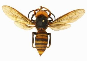 Top view of the Asian giant hornet
