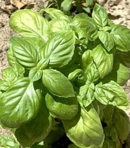 Sue Brown of San Antonio planted a basil plant and decided that a cool Caprese salad was exactly what she wanted on a hot summer day. COURTESY PHOTO