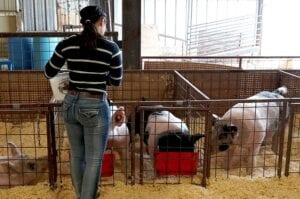 Hogs being fed and getting ready to be shown at the 2020 ACLS. NOEL WILKERSON HOLMES | PLEASANTON EXPRESS