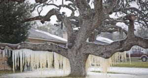 A busted pipe at a Lantana Lane residence created a dream-cycle landscape on this oak tree. JEREMY GINN | COURTESY PHOTO