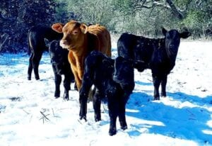 Holy cow! It's snowing in south Texas. JACK GARCIA | PLEASANTON EXPRESS