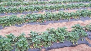 The S&G Farm, located at 123 Pulliam Dr. in Pleasanton, is one of many strawberry growers who will be represented at the April 3 berry sifting. LISA LUNA | PLEASANTON EXPRESS